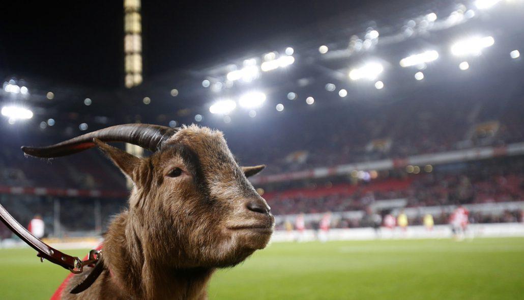"""Hennes III. wurde als """"Bock ohne Namen"""" zum achten Maskottchen des 1. FC Köln erwählt."""